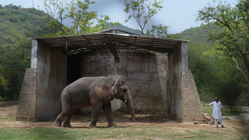 Kaavan, the world's loneliest elephant, is finally going free